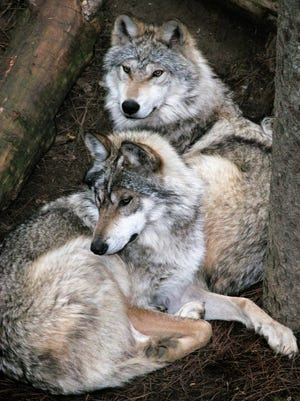 Mexican gray wolves like these will once again be seen at Binder Park Zoo.