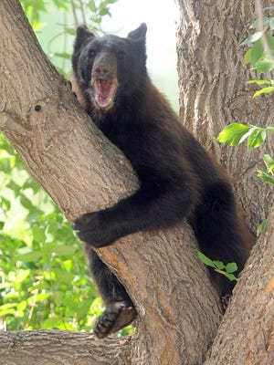 A bear rests in a tree in Fort Collins in this 2012 file photo. August and September are when bears most often show up in the city.