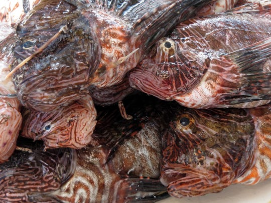 Dozens of lionfish are stacked up in a cooler brought