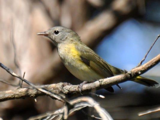 pict. 5953 american redstart warbler