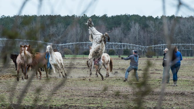 A horse breaks away from its handler at a farm on Cherry Walk Road in Quantico on Monday, March 19, 2018.