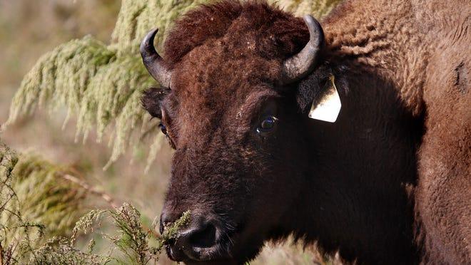A bison roams the Three Suns Ranch in Punta Gorda Thursday, December 11.