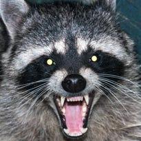 Putnam: East Lansing neighbors on their own to deal with strangely behaving raccoon