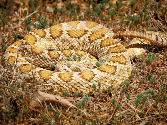 A Mojave rattlesnake coiled in the grass at the home of Humane Society of Southern New Mexico board president Frank Bryce. This particular snake has been in Bryce's possession since 1990.