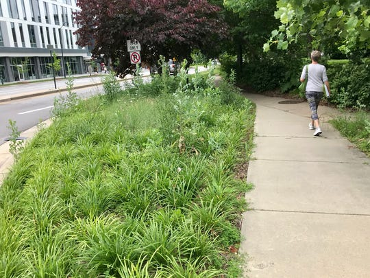 The median and other beds along College Street have become overrun with weeds.