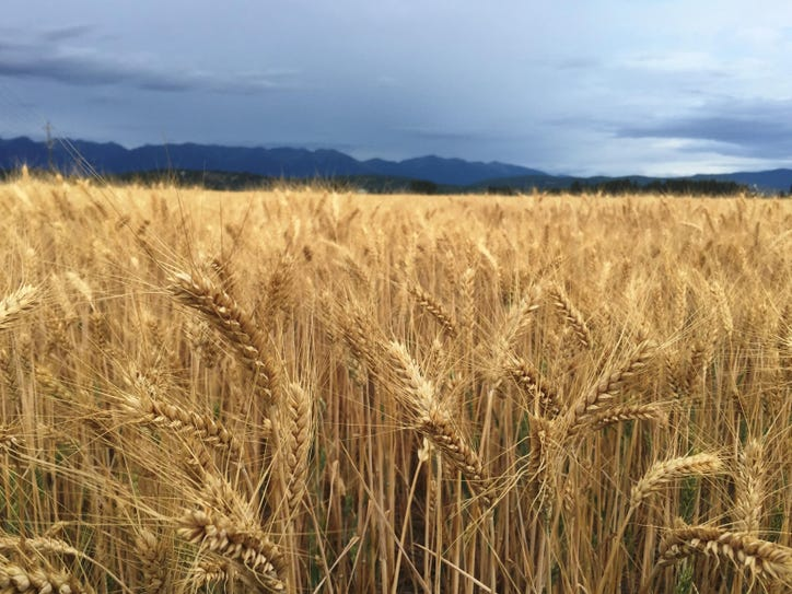 Wheat in the Flathead Valley.