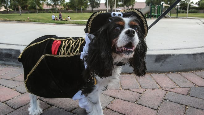 Bianca in a pirate outfit is late to compete in the Dog O Ween dog costume contest in La Quinta on Saturday, October 29, 2016.