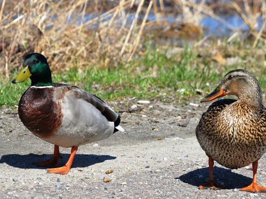 Mr. and Mrs. Mallard Duck at Vermont Fish and Wildlife Lake Champlain Access in Malletts Bay on April 24.