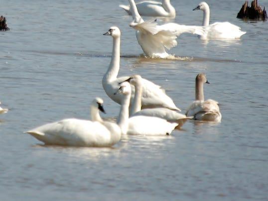 3-LDN-DW-031316-Swans.jpg