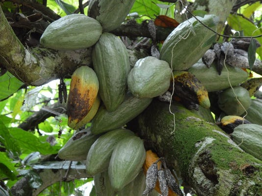 Cacao-black-pod-rot-cropped---Andrew-Fister.jpg