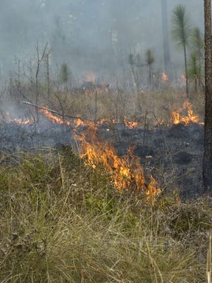 Fire consumes much of the unwanted growth from the forest floor during a prescribed burn in the Blackwater River State Forest.