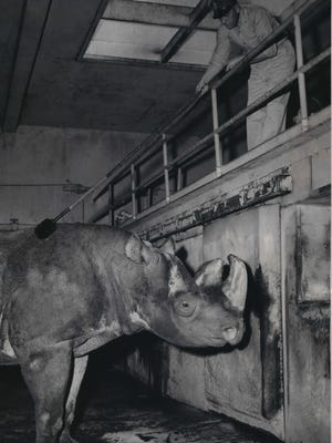Karonga, the aged rhinoceros at the Washington Park Zoo, is tended to by his keeper, Harold Borkenagen. Karonga died at the zoo on July 26, 1957; at age 26, he was the oldest rhino in captivity in the United States at the time. The rhino had been given to the zoo by The Journal Co. in 1943. This photo was published in the July 26, 1957, Milwaukee Journal