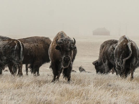 Snowy Carr Bison