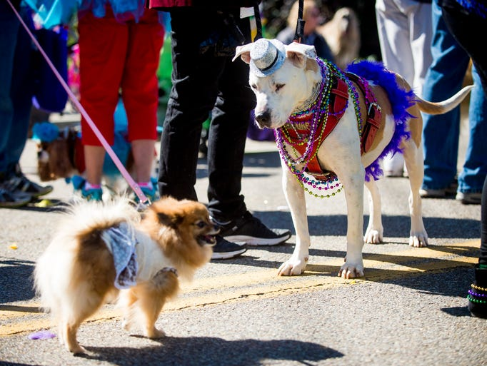 Costumed dogs wait for the start of the Mardi Growl