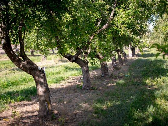 U-Pick Mesilla Valley Apples