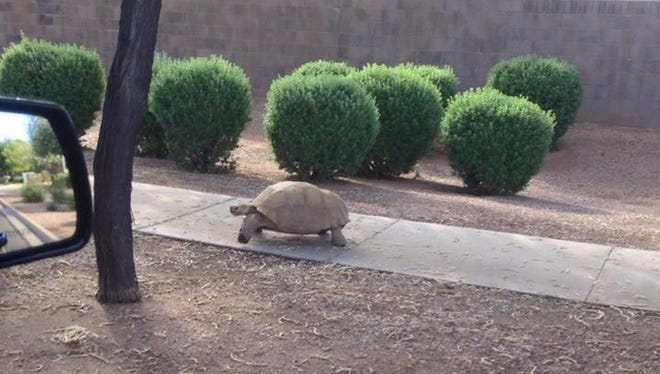 Mesa tortoise found safe