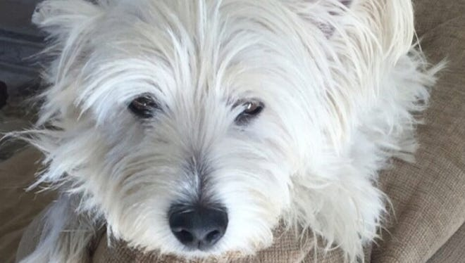 One of the pair of Westies transported by a Roadie driver from a shelter in Florida to a new home in Atlanta.