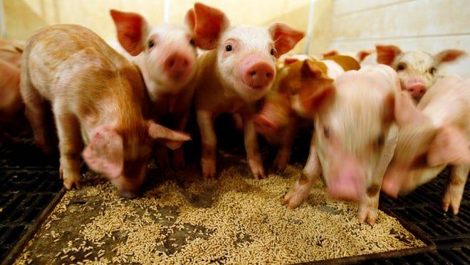 File photo of pigs at an Iowa farm.