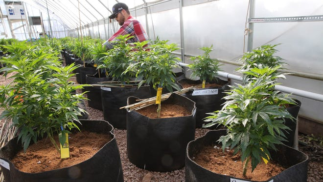 In this Feb. 7, 2014, file photo, a worker cultivates a special strain of medical marijuana known as Charlotte's Web inside a greenhouse, in a remote spot in the mountains west of Colorado Springs, Colo. Florida voters will vote Nov. 4 on whether to legalize medical marijuana.