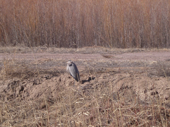 Shoulders hunched against the cold, a lone great blue heron stands in a ditch, its head, chest, and wing plumes ruffling in the breeze.