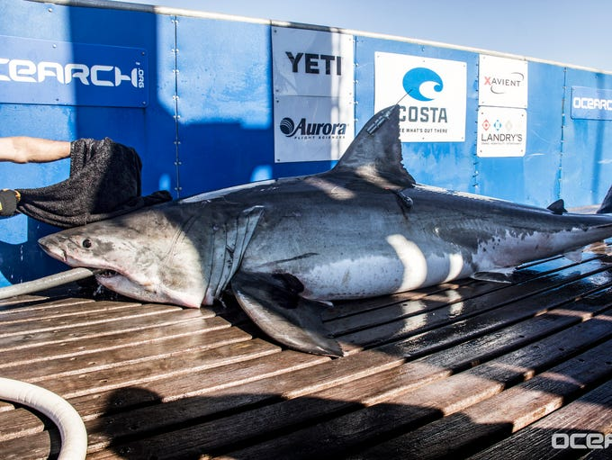Ocearch is a nonprofit organization that researches