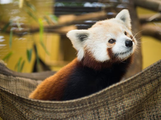 Red pandas at Zoo Knoxville are given frozen pieces of fruit and can hang out in an air conditioned enclosure on hot days.