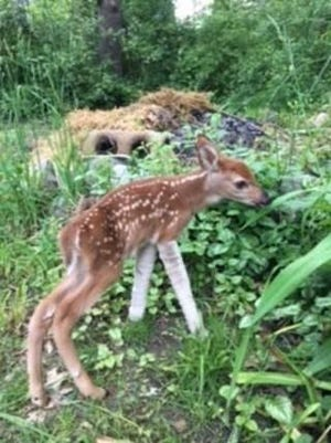 This orphaned fawn, with help from the Humane Society of Huron Valley, has a new lease on life.