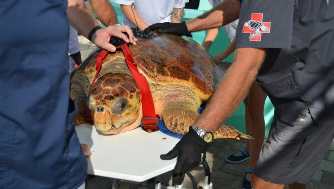 One of two sea turtles recently released to the Atlantic from Loggerhead Marinelife Center