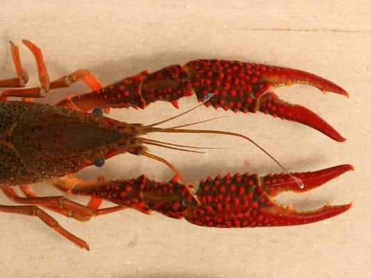 636360851651905335-Red-swamp-crayfish.jpg