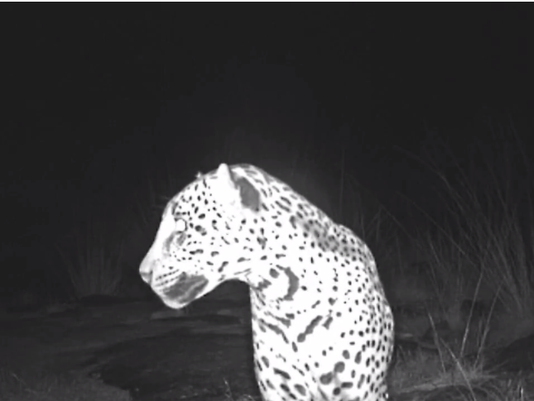 arizona jaguar