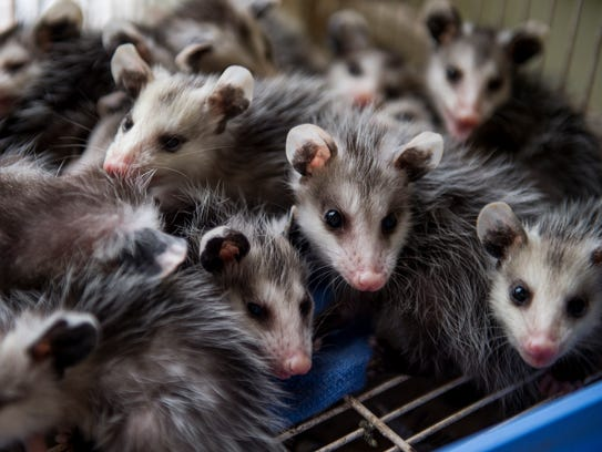 Baby possums are rehabbed at wildlife rehabilitator
