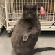 This 25-pound, extremely high-maintenance cat is up for adoption in Illinois