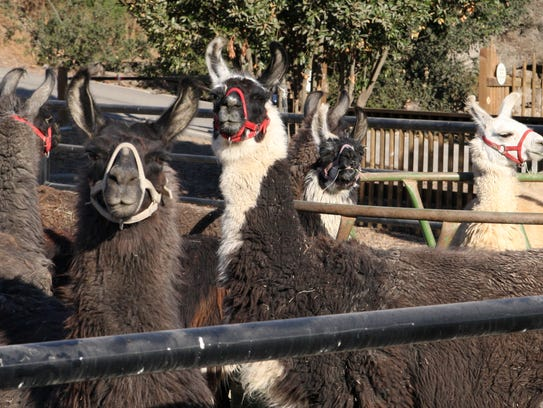 Llamas available for adoption at the Monterey Zoo