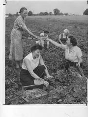 At the R. F. Wheeler Farm on Nachand Lane near Fern Creek in Louisville, Mrs. Wheeler (standing) takes a basket from Mrs. A. B. Dickson as Mrs. F. H. Simpon (left, front), Mrs. Kenneth Bartman (left, rear) and Mrs. N. G. Rochester pick strawberries. May 26, 1954. Photo by Al Hixenbaugh/The Louisville Times