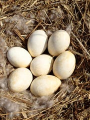 A goose nest