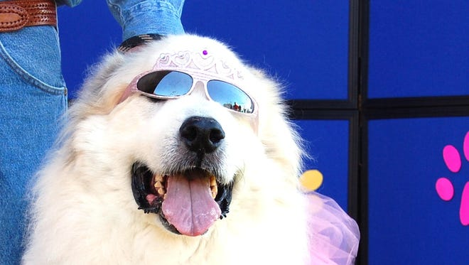 A dog participates in the costume contest at last year's Howl-a-Palooza.