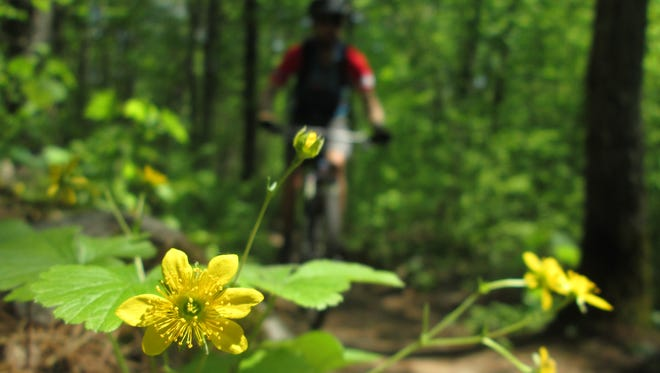 Barren strawberry lines woodland trails, and brightens the forest with its yellow flower.