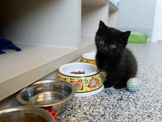 A kitten finishes with lunch at the Maclean Animal Adoption Center on April 30.
