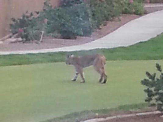 Bobcat at Sun City Shadow Hills (2).jpg