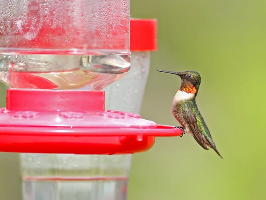 The ruby-throated hummingbird is among the stars of