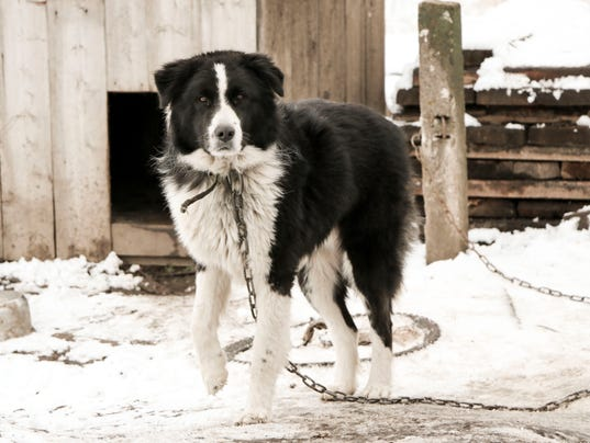 dog mongrel black and white color on the chain walks near the kennel