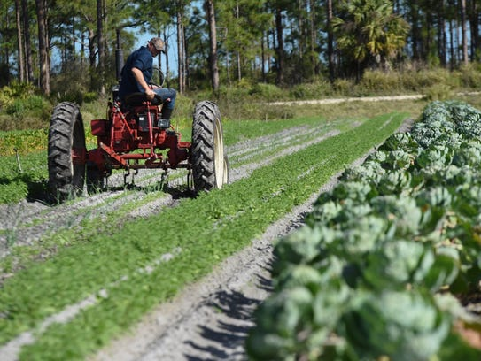 Worden Farm utilizes an older Farmall tractor to weed