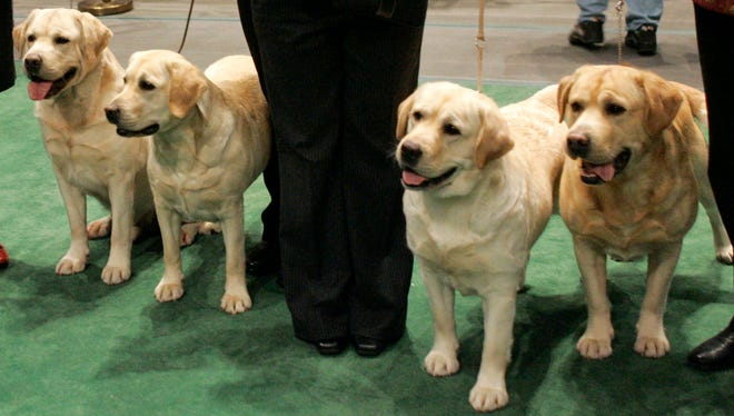 Four Labrador retrievers line up for a photograph with their handlers before entering the ring for competition at the Westminster Kennel Club dog show at Madison Square Garden in New York on Feb. 13, 2007.