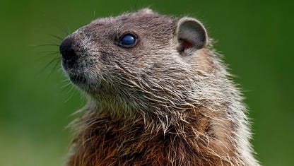 A stock image of a groundhog.