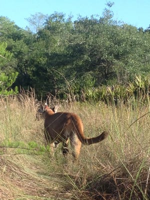 After what felt like forever, the Florida panther finally turned to leave.