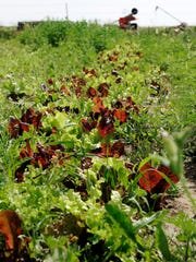 A gourmet blend of five different types of lettuce grows at Alex Bertsch's farm near Milaca on Friday, June 17, 2016. Bertsch purchases the seeds through High Mowing Organic Seeds, an organic and non-GMO company out of Vermont.