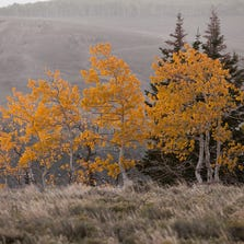 Aspen leaves blow in the wind in this file photo. The Cedar City-Brian Head Tourism Bureau posts a fall colors report on its website  s cenicsouthernutah.com  with current leaf conditions, photographs and suggested drives.