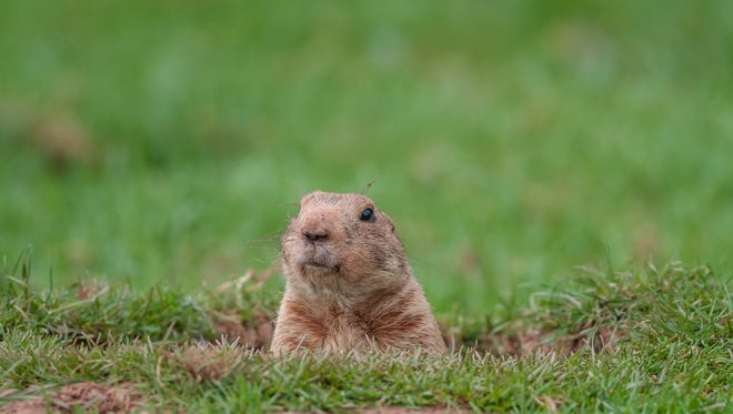 A groundhog looks out from a hole.