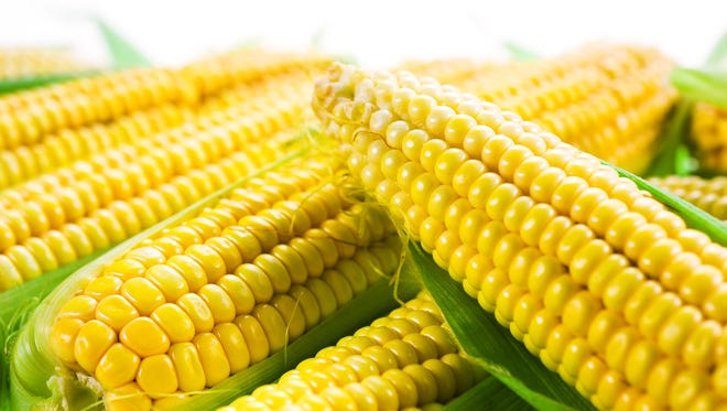 An ear of corn averages 800 kernels in 16 rows, with each kernel attached to a silk. Corn will always have an even number of rows.