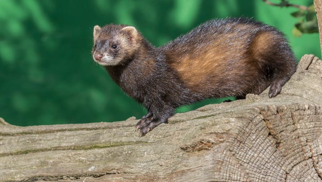 Mink are found in Northern Colorado, most often in wetland areas. A Larimer County resident says mink killed his chickens.
